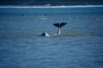 Schwanzflosse eines jungen Belugas ragt aus dem Wasser