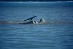 Belugas an der Wasseroberfläche