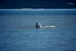 Der Beluga hebt seinen Kopf aus dem Wasser