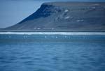 Belugas im Schmelzwasser am Cunningham Inlet