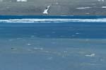 Belugas sind am Cunningham Inlet eingetroffen