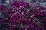 Gegenblättriger Steinbrech Blütenmatte