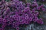 Gegenblättrige Steinbrech - ein Frühblüher