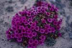 Gegenblättriger Steinbrech - eine arktische Blütenpflanze
