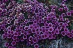 Gegenblättriger Steinbrech - eine kälteresistente Blütenpflanze
