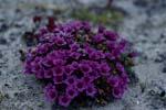 Gegenblättriger Steinbrech trotzt arktischer Kälte