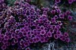 Gegenblättriger Steinbrech - Blume der Arktis