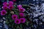 """Gegenblättriger Steinbrech - """"Blume des Territoriums Nunavut"""""""