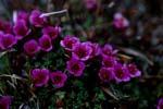 Gegenblättriger Steinbrech - Blütenpflanze der Arktis