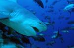 Gefährlich aussehender Bullenhai