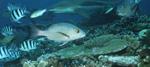 Doppelfleck-Schnapper mit Schwarzspitzen-Riffhai
