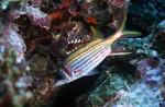 Blutfleck-Husarenfisch