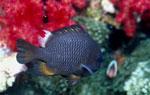 Dreipunkt-Preussenfisch