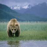 Grasender Braunbär (Ursus arctos horribilis)