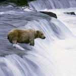 Braunbär im strömenden Wasser am Wasserfall