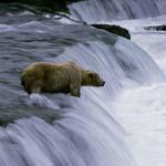 Geduldiger Braunbär am Wasserfall