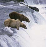 Zwei Braunbären am Wasserfall