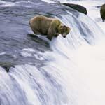 Braunbär wartet auf einen springenden Lachs