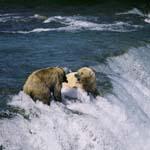 Braunbären streiten sich am Wasserfall
