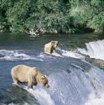 Braunbären beim Lachsfischen am Brooks River Falls