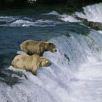 Braunbären sehen einen springenden Lachs