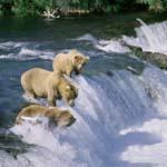 Drei Braunbären am Brooks River Wasserfall