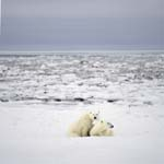 Der junge Eisbär erkundet mit seiner Mutter die Küste