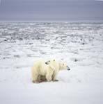 Eisbären unterwegs an der Hudson Bay Küste