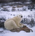 Müder Eisbär auf einem Stein an der Hudson Bay