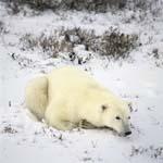 Ein Eisbär entspannt sich im späten Nachmittagslicht