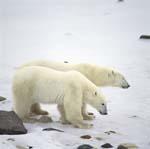 Junger Eisbär mit seiner Mutter an der Hudson Bay
