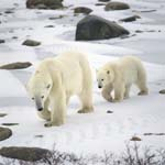 Junger Eisbär folgt artig seiner Mutter über das Eis