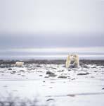 Im Spiel kämpfende Eisbären