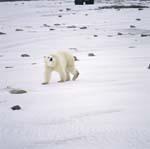 Ein Eisbär wandert entlang der Hudson Bay Küste
