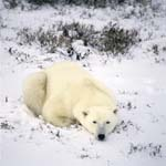 Ruhender Eisbär im frisch gefallenen Schnee