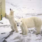 Neugierig untersucht der junge Eisbär den Tundra-Buggy