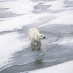 Ein Eisbär unterwegs an der Küste der Hudson Bay