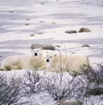 Ruhende Eisbären an der Küste der Hudson Bay