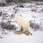 Eisbär rastet auf einem mit Flechten bewachsenen Stein