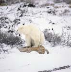 Der Eisbär und sein Rastplatz in der Tundra