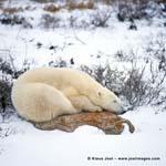 Eisbär auf einem Stein an der Hudson Bay