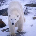 Eisbär in der Hudson Bay