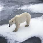Eisbär an der Küste