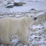 Eisbär Ursus maritimus in der Tundra
