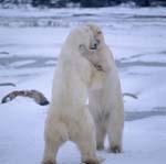 Kämpfende Eisbären