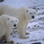 Auge in Auge mit zwei Eisbären in der Hudson Bay