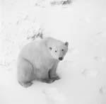 Eisbär in der Tundra