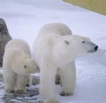 Eisbärin mit Jungbär in der Hudson Bay