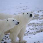 Eisbären in der Tundra
